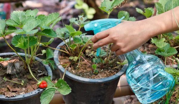Bitkiler için magnezyum sülfat kullanımı