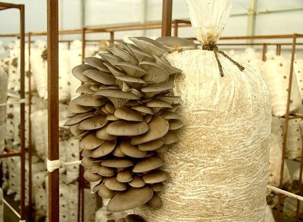 Evde istiridye mantarları yetiştirme