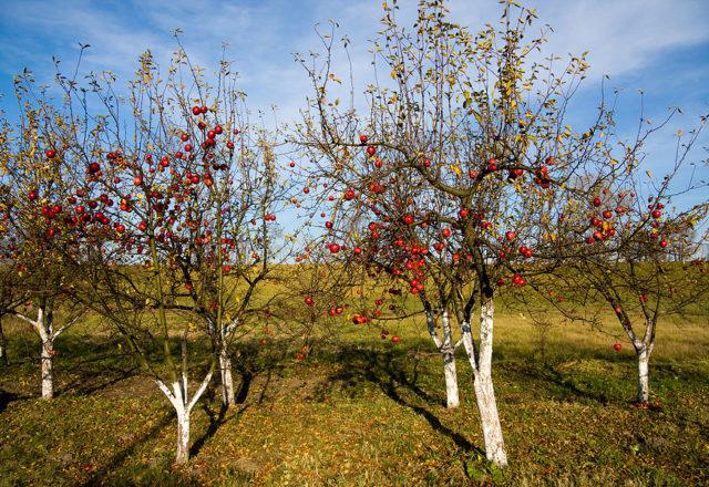 Sonbaharda üst soyunma elma ağaçları