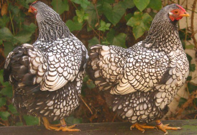 Tavukların cinsleri