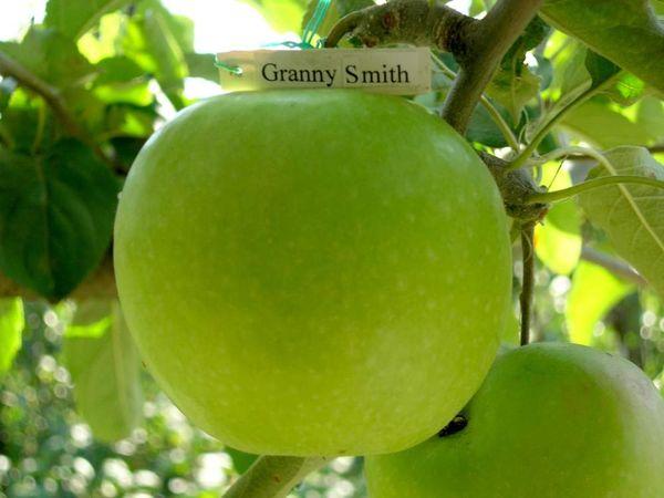 Büyükanne smith