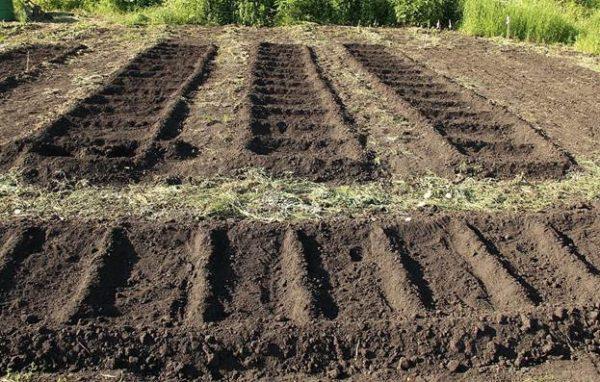 Salatalık çok kuru zeminde filizlenmez