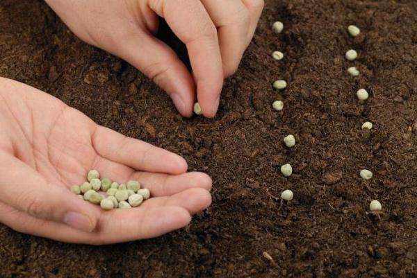 Açık yerde bezelye nasıl ekilir