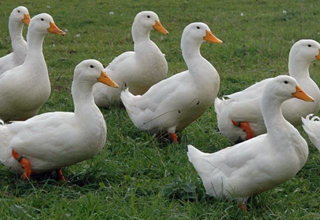 evcil ördekler